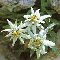 Edelweiss Csilla