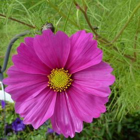 lily cosmos