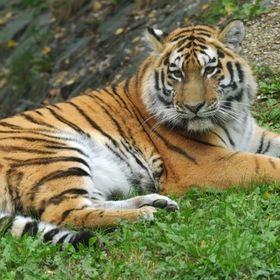 TigerArtist065