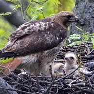 shehawk's nest