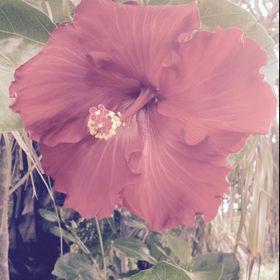 Inda rose