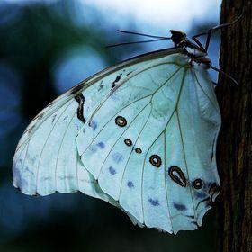 swallowtail-es