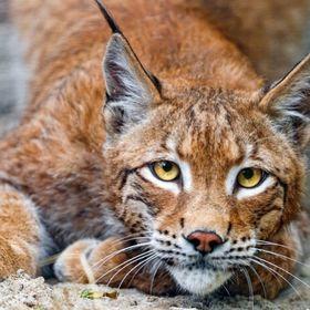 LekSa Lynx