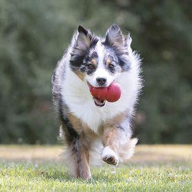 Dog Toys Advisor (dogtoysadvisor) no Pinterest 95b8d793634