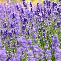 Ivy Lavender