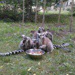 lemur design