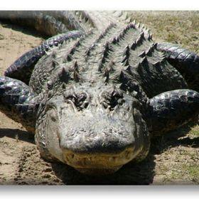Arjantanja Alligator