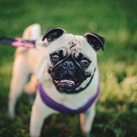 Jennifer | Crazy Pug Lover