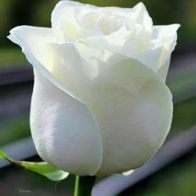 Rosa E.