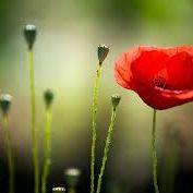 poppy ^^