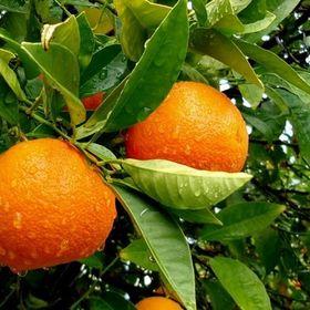 Orange Tree Corner