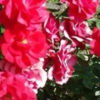 Róża Terska