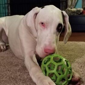 XS Leather Dog Collar FELT LINED Greyhound Lurcher Whippet Saluki MINT GLOSS