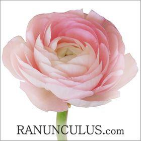 Ranunculus.com