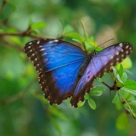 Amma Butterfly