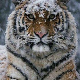 Tiger Inmyheart