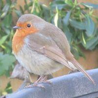 Fi Robin