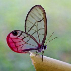 pinkglasswing