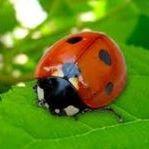 Ladybird Positiva