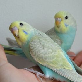 Budgie Lover 14