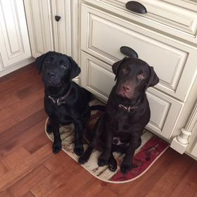Two Adorable Labs
