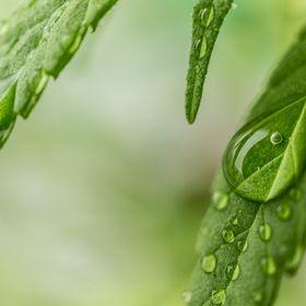 Hawaii Cannabis Times