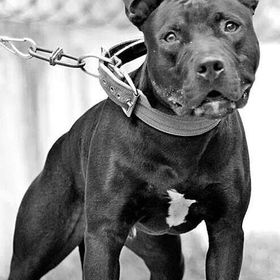 True American pit bull terrier,APBT,Game Dog,Working/Hunting