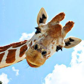 Vegan Giraffe