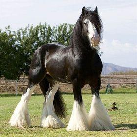 Shofie Horses