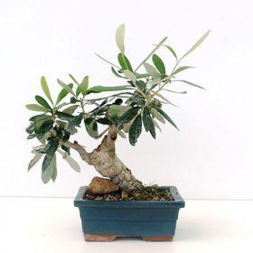 Verde bonsai