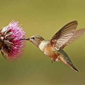 Gloria Hummingbird