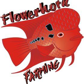 Flowerhorn Farming
