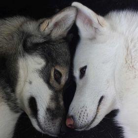 Siberian Husky World