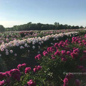 Countryside Gardens, Inc. - Peony Farm