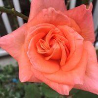 Rose Branham