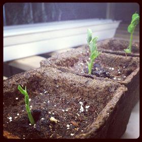 Urban Seedling