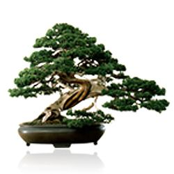 Superbe Dallas Bonsai