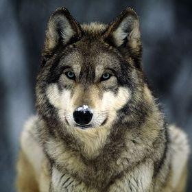 Skaane Wolf