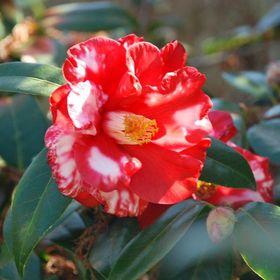 Larry Bates Nursery Camellias