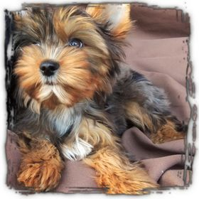 Karmic Yorkies Breeders