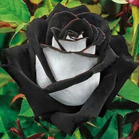 Lilliana Rose