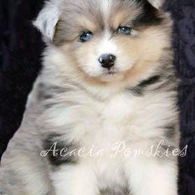 Acacia Pomsky Puppies