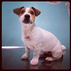 Jack Russell - Puro Terrier