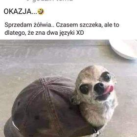 Polish Bambino