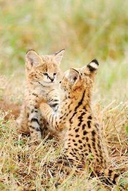 cheetah kittens:)
