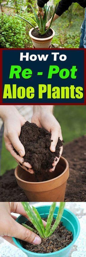 How to Re-Pot Aloe Plants