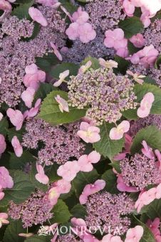 Monrovia's Tuff Stuff™ Reblooming Mountain Hydrangea details and information. Learn more about Monrovia plants and best practices for best possible plant performance.