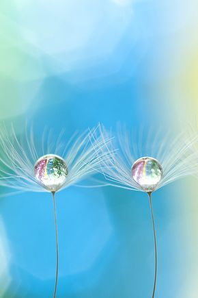 Droplet on Dandelion