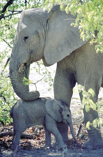 Elephant Mother with calf - South Africa