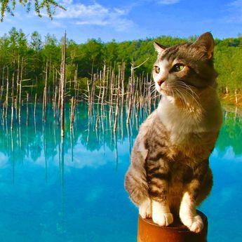 """Nyankichi Noraneko on Instagram: """"青い池は本当に青かったにゃり😸  #猫 #cat #고양이 #แมว #貓 #кошка #qata #chat #gato #喵星人 #ねこ部 #旅猫 #動物 #野良猫 #ニャン吉 #japan #猫写真 #ねこ #ネコ #旅貓 #北海道 #hokkaido #美瑛 #青い池…"""""""